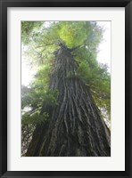 Framed Low-Angle View Of Redwood Tree