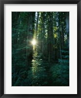 Framed Low angle view of sunstar through redwood trees, Jedediah Smith Redwoods State Park, California, USA.