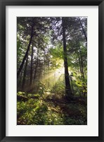 Framed Sunbeams in dense forest, Great Smoky Mountains National Park, Tennessee, USA.