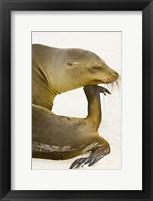 Framed Galapagos Sea Lion (Zalophus wollebaeki), Galapagos Islands, Ecuador