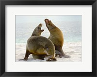Framed Two Galapagos sea lions (Zalophus wollebaeki) on the beach, Galapagos Islands, Ecuador