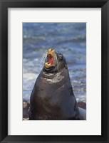 Framed Galapagos sea lion (Zalophus wollebaeki) on the beach, Galapagos Islands, Ecuador