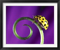 Framed Side view close up of yellow ladybug sitting on a green curlicue shaped leaf