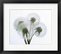 Framed Close up of four dandelion heads in seed on stems
