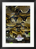 Framed Close-up of a Boa Constrictor, Arenal Volcano, Costa Rica