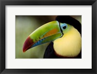 Framed Close-up of Keel-Billed toucan (Ramphastos sulfuratus), Costa Rica