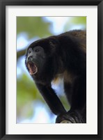 Framed Close-up of a Black Howler Monkey (Alouatta caraya), Costa Rica