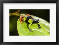 Framed Close-up of a Painted mantella (Mantella madagascarensis) frog, Madagascar