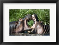 Framed Two hippopotamuses (Hippopotamus amphibius) fighting in water, Ngorongoro Crater, Ngorongoro, Tanzania