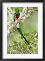 Framed Close-up of Resplendent quetzal (Pharomachrus mocinno) perching on a branch, Savegre, Costa Rica
