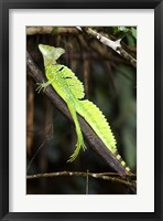 Framed Close-up of a Plumed basilisk (Basiliscus plumifrons), Costa Rica