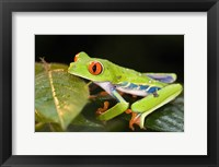 Framed Red-Eyed Tree frog (Agalychnis callidryas) on leaves