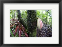 Framed Cocoa tree in a rainforest, Costa Rica