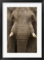 Framed Close-up of an African elephant (Loxodonta africana) trunk, Lake Manyara, Tanzania