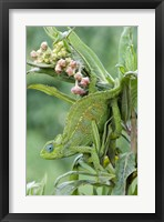 Framed Close-up of a Dwarf chameleon (Brookesia minima), Ngorongoro Crater, Ngorongoro, Tanzania
