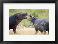 Framed Two hippopotamuses (Hippopotamus amphibius) sparring in a forest, Ngorongoro Crater, Ngorongoro, Tanzania
