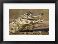 Framed Yacare caiman (Caiman crocodilus yacare), Three Brothers River, Meeting of the Waters State Park, Pantanal Wetlands, Brazil