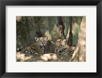 Framed Jaguars (Panthera onca) resting in a forest, Three Brothers River, Meeting of the Waters State Park, Pantanal Wetlands, Brazil