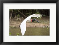 Framed Jabiru Stork (Jabiru mycteria) over Water, Three Brothers River, Meeting of the Waters State Park, Pantanal Wetlands, Brazil