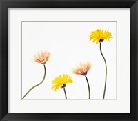 Framed Four Yellow and Pink Daisies on White Background