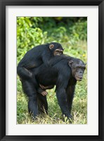Framed Female chimpanzee (Pan troglodytes) carrying its young one on back, Kibale National Park, Uganda