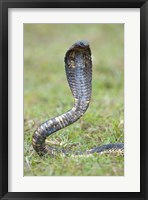 Framed Egyptian cobra rearing up, Lake Victoria, Uganda