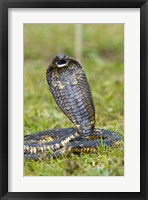 Framed Close-up of an Egyptian cobra (Heloderma horridum) rearing up, Lake Victoria, Uganda