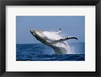 Framed Humpback whale (Megaptera novaeangliae) breaching in the sea