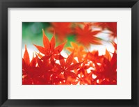 Framed Red Maple Leaves