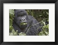 Framed Close-up of a Mountain gorilla (Gorilla beringei beringei) eating leaf, Rwanda
