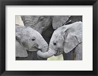 Framed African elephant calves (Loxodonta africana) holding trunks, Tanzania