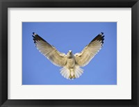 Framed Ring Billed Gull (Larus delawarensis) in flight, California, USA
