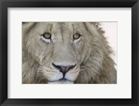 Framed Close-up of a male lion (Panthera leo), Tanzania