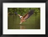 Framed Black-Collared hawk pouncing over water, Three Brothers River, Meeting of Waters State Park, Pantanal Wetlands, Brazil