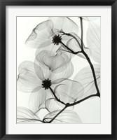 Framed Dogwood Blossoms - Positive