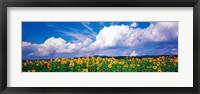 Framed Fields of sunflowers Rudesheim vicinity Germany