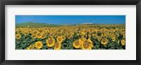 Framed Sunflower field Andalucia Spain