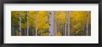 Framed Aspen trees in Telluride, Colorado