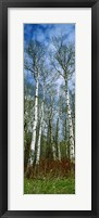 Framed Birch trees in a forest, US Glacier National Park, Montana, USA