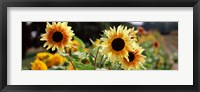 Framed Close-up of Sunflowers (Helianthus annuus)