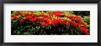 Framed Red Rhododendrons, Shore Acres State Park, Coos Bay, Oregon