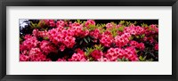Framed Pink Rhododendrons plants in a garden, Coos Bay, Oregon