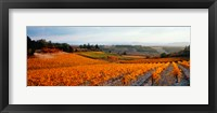 Framed Vineyards in the late afternoon autumn light, Provence-Alpes-Cote d'Azur, France