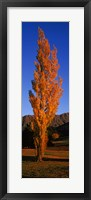 Framed Poplar tree on Golf Course, Queenstown, South Island, New Zealand