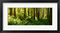 Framed Ferns and Redwood trees in a forest, Redwood National Park, California, USA