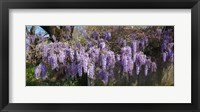 Framed Wisteria flowers in bloom, Sonoma, California, USA