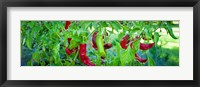 Framed Santa Fe Grande Hot Peppers on bush