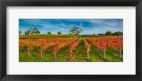 Framed Autumn vineyard at Napa Valley, California, USA