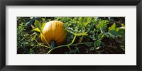 Framed Pumpkin growing in a field, Half Moon Bay, California, USA