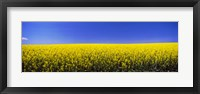 Framed Canola field in bloom, Idaho
